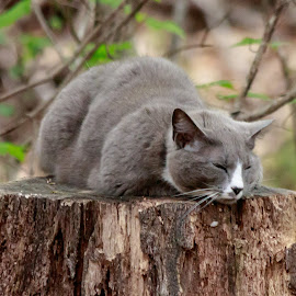 CATNAP by Jennifer  Loper  - Animals - Cats Portraits ( gray, laying, white nose, tree leaves, cat, stump )