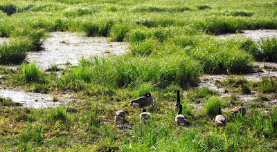 Photo: A rare sight indeed! Canadian Geese... in a marsh! whoa.