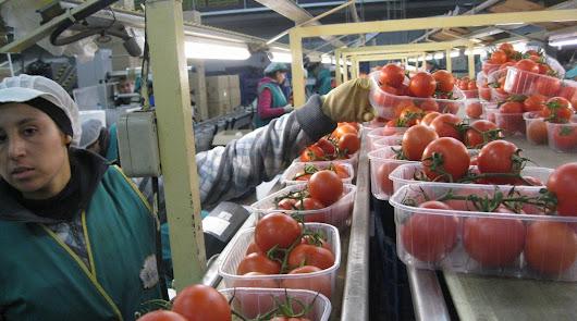 Una empresa busca 50 envasadoras de tomates en Almería