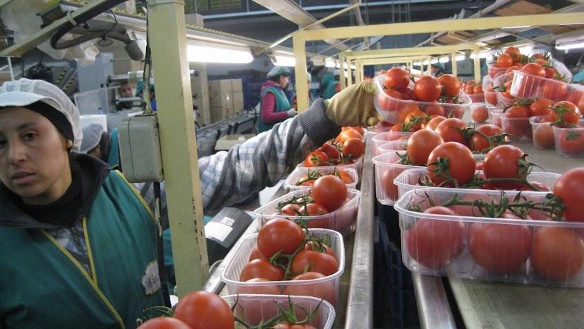 Una mujer trabaja en el envasado de tomates.