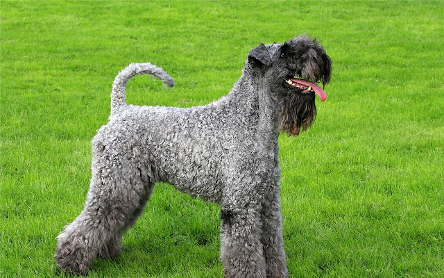 Kerry Blue Terrier Themes & New Tab