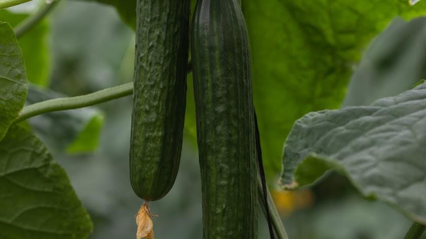 Bambú y Caobado, la genética SmartQ de Fitó para siembras de pepino holandés.