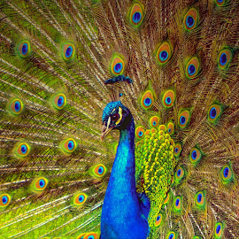 by Sharon Davies - Novices Only Wildlife ( bird, colour, feathers, fan, peacock )