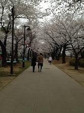 Photo: 皆がスタートしてから、浮間舟渡駅までちょっと買い物。浮間公園はサクラが満開!凄く綺麗です!