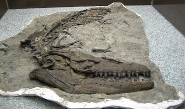 Photo: Dinazor amcanın kafa fosili