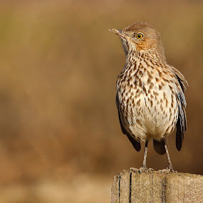Sage Thrasher by Andrew Johnson - Animals Birds ( bird, nature, wildlife, thrasher, animal )