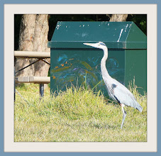Photo: Young blue heron in picnic area