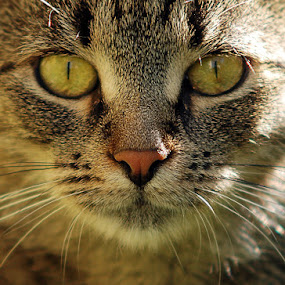 Bread by Attila Kropf - Animals - Cats Portraits ( potrait, kitten, cat, close,  )