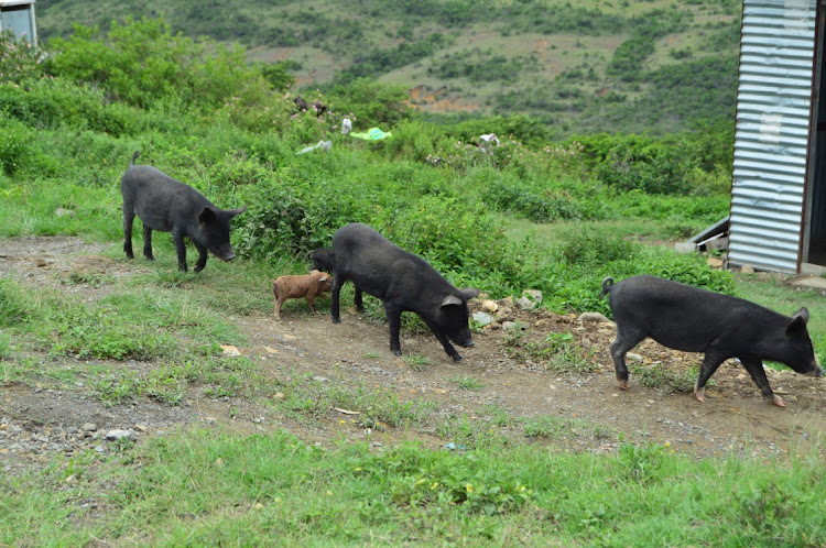 Pigs and piglets seen grazing at Jongilanga Village, Kwelera. A Kenyan athlete is blaming contaminated pork meat for his doping violation,