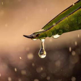 Leaf Rain Drop by Malan Lombard - Nature Up Close Water ( rainy day, wet, leaf, rain, rain drop )