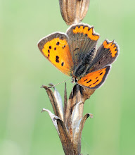 Photo: Lycaena phlaeas, Cuivré commun, Small Copper  http://lepidoptera-butterflies.blogspot.com/