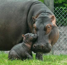 Photo: In this photo provided by Busch Gardens, Moxie, born in Dec. 2001, who now weighs 2600 pounds is shown with her calf at Busch Gardens, in Tampa, Fla., on Friday, Sept. 8, 2006.  The baby hippopotamus,  weighing 65 pounds, was born at the park Thursday. Due to hippo's protective nature of their young, zoological staff has not yet confirmed the sex of the baby. (AP Photo/Busch Gardens, Jim Stem) ORG XMIT: WXS502