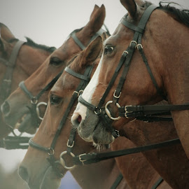 by Anja Kroes - Animals Horses
