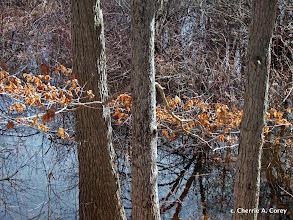 Photo: Winter skirt, red oaks