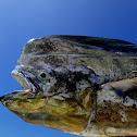Mahi-Mahi/Dorado/Dolphin Fish