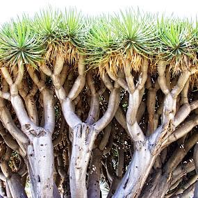 by Alice Gipson - Nature Up Close Trees & Bushes ( coronado beach, alicegipsonphotographs, trees )