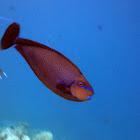 Big nose unicornfish