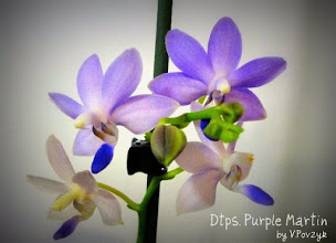 Photo: Dtps. Purple Martin