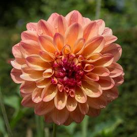 by Janet Marsh - Flowers Single Flower ( pink, dahlia, filoli )