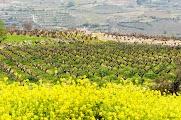 Среди виноградников