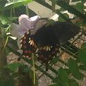 Common Mormon - Aristolochiae female
