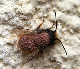 """Photo: Une OSMIE CORNUE ( """"Osmia cornuta"""" ) parasitée par des minuscules araignées """"Parasitus fucorum"""" - mesostigma arachnida - L'osmie les transporte mais n'est pas parasitée directement (phorésie)"""
