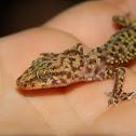Mediterranean house gecko or Moon lizard