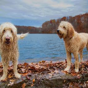 by Ross Bolen - Animals - Dogs Portraits