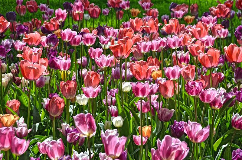 la rosa non è tulipano, il tulipano è rosa di Migliu