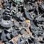 Greater Salted Rocktripe Lichen