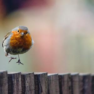 Robin hop.jpg