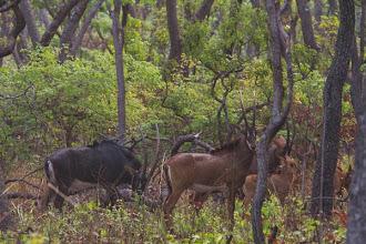 Photo: Mercury, females and a little calf Mercúrio, fêmeas e uma pequena cria