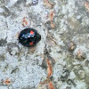 Twice-stabbed ladybird beetle