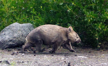Photo: Ru wombat run!