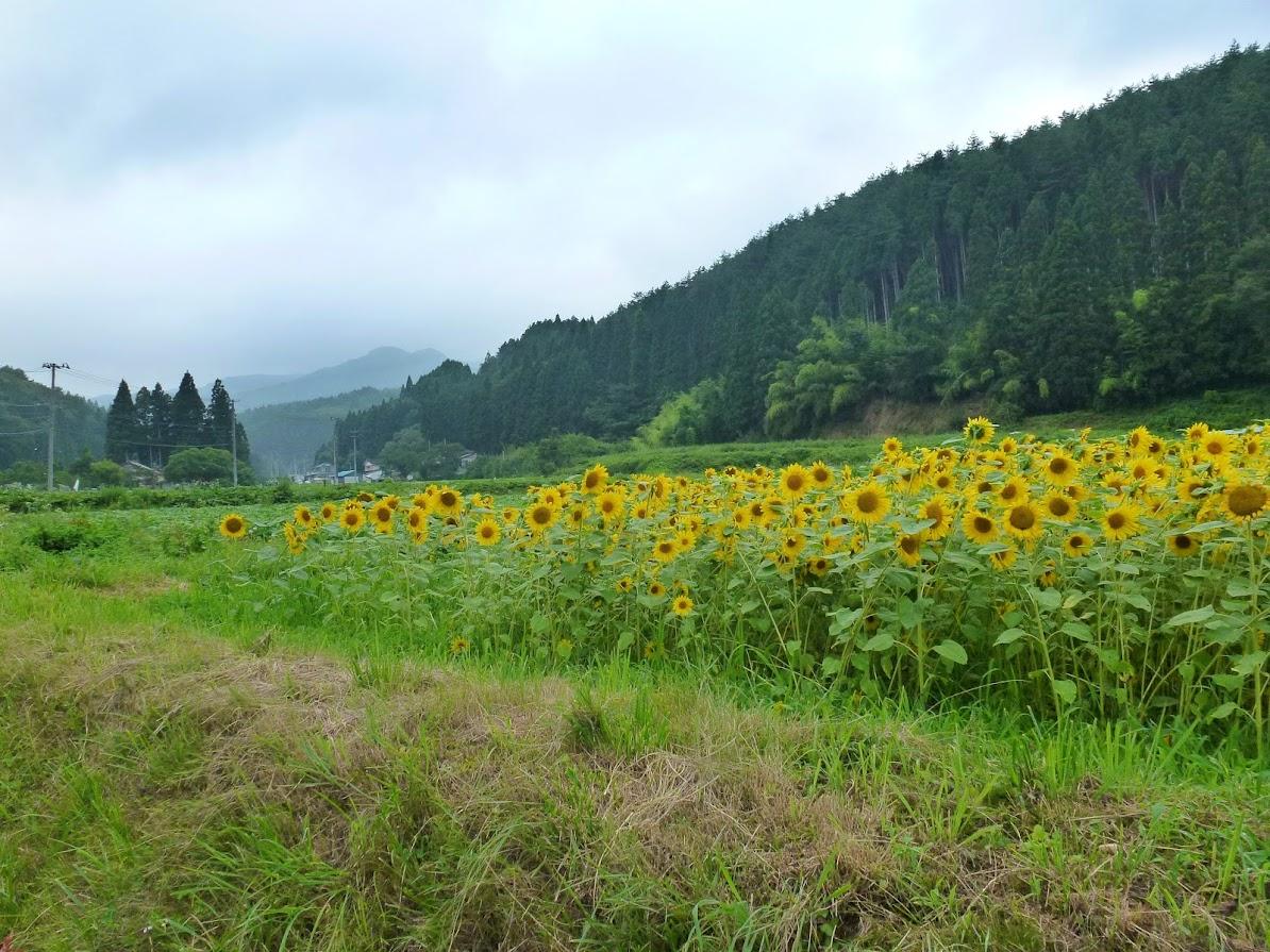 歌津中在のひまわり畑 写真5