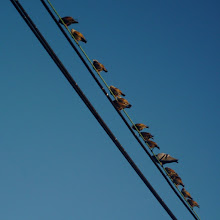 Photo: Starlings on a wire