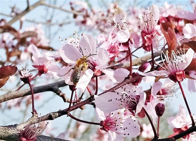 2019-04-06 LüchowSss Garten Vormittag Blutpflaumen (Prunus cerasifera) + Rotendige Sandbiene (Andrena haemorrhoa)