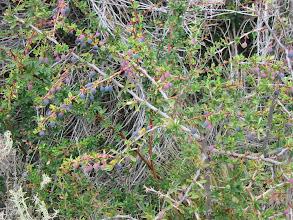 Photo: The Calafate bush (berries are edible)