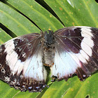 Violet-Spotted Charaxes