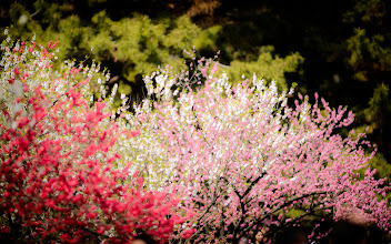 """Photo: This photo appeared in an article on my blog on Mar 31, 2013. この写真は3月31日ブログの記事に載りました。 """"Enjoying the Blossoms at the Kyoto Imperial Palace Park"""" http://regex.info/blog/2013-03-31/2236"""