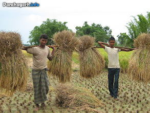 Photo: Farmers carrying paddy stack from fields