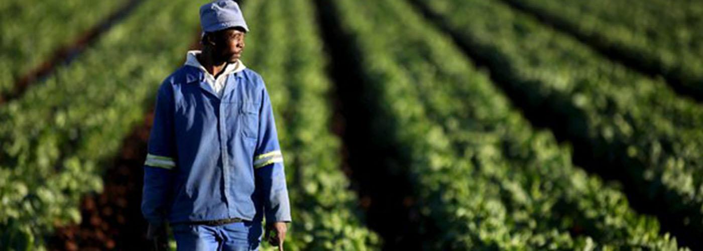 paysan maraîcher, cultivateur de haricots