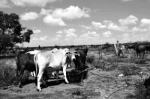 EASY TARGETS: Cattle theft has been rife in KwaZulu-Natal, especially in the remote areas of Nquthu and Kingley. Pic: Chester Makana. Circa September 2009. © Sowetan. GROUND FOR IMPROVEMENT:Cattle farmers in Limpopo also cry for land to increase their production.  PHOTO:CHESTER MAKANA