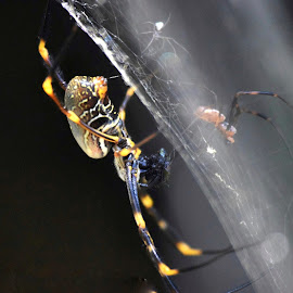 Golden orb weaver by Amanda Daly - Novices Only Macro
