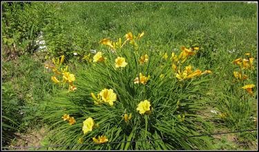 Photo: Crisnul de  zi (Hemerocallis) - din Turda, Str. Constructorilor, Nr. 2, spatiu verde - 2019.06.16