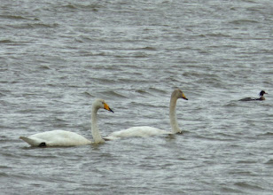 Photo: Swans are a common sight in Iceland.   I saw many sitting in fields, and not in the water as I would have expected.