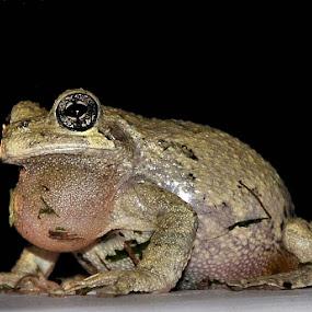 The eyes have it by Linda Brooks - Animals Amphibians