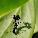 Ant mimicing mantis