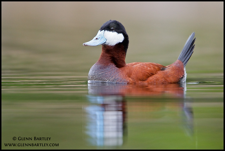 Photo: Ruddy Duck (Oxyura jamaicensis) in a pond in British Columbia, Canada.