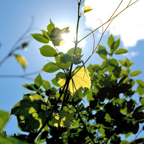 Grape Leaves in Strong Sunlight by Matt Warren - Nature Up Close Leaves & Grasses ( green, grape leaves, sun, summer, fruit plant )
